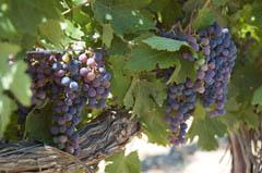 20090204_grapes