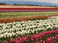 20090330_tulips