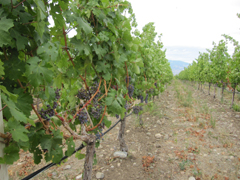 Vineyard in the Okanagan Valley